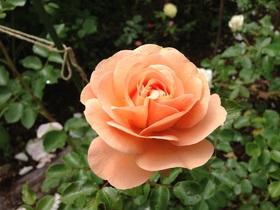 庭に咲くバラ(6月)